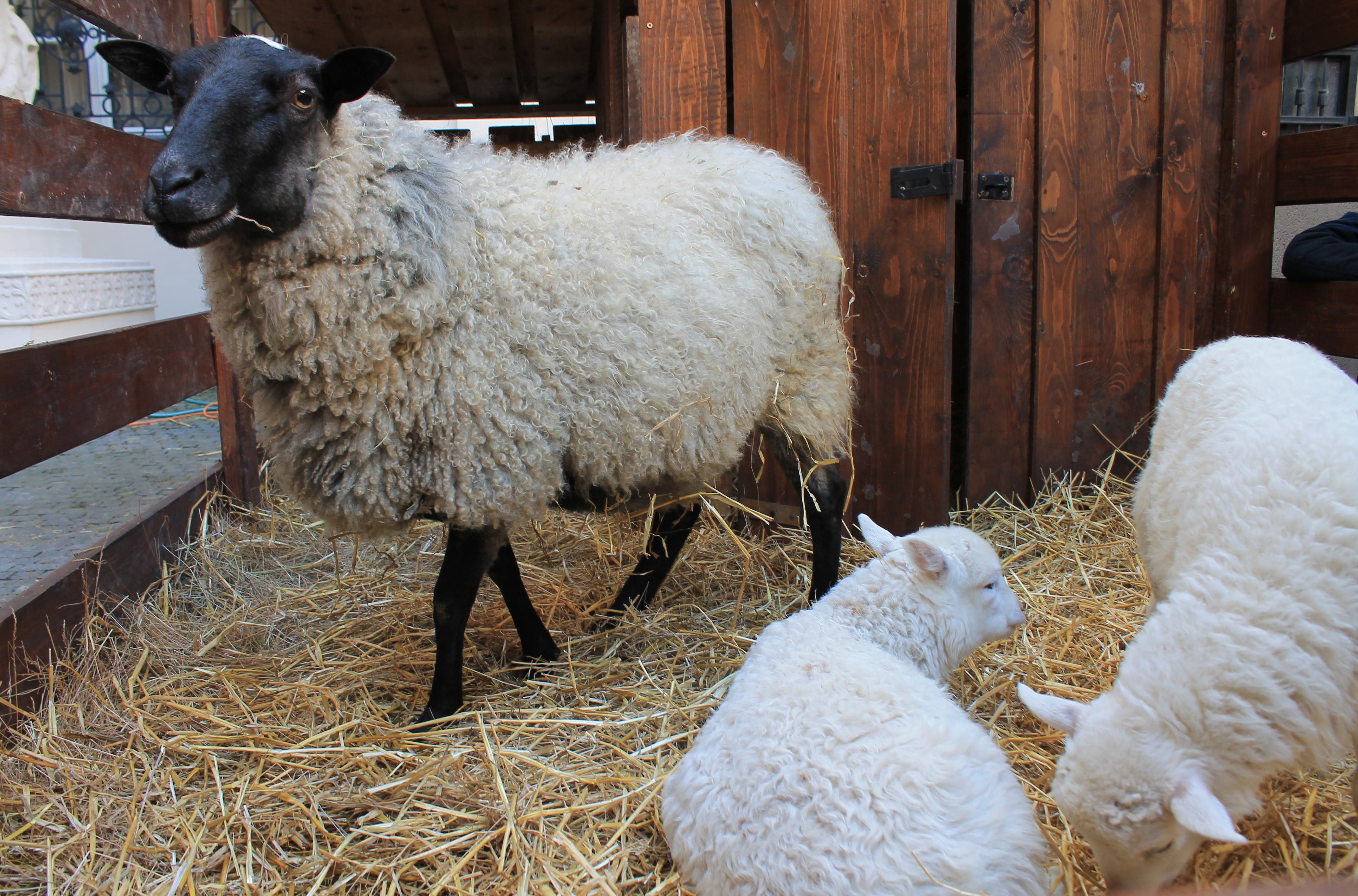 Deti sa určite potešia pri pohľade na ovečky. Zdroj: Aneta Schmogerová