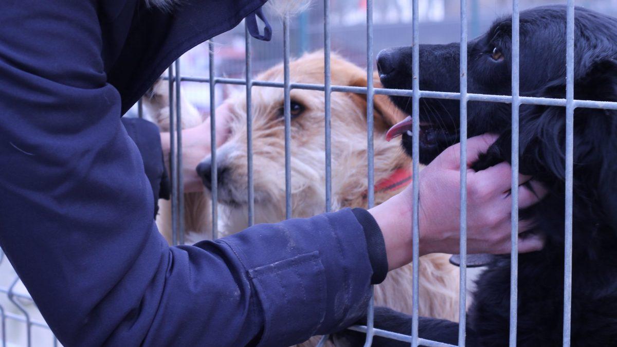 Kristína Devínska zo Slobody zvierat: Pred adopciou musí medzi psom a človekom zafungovať chémia